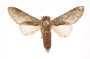 (Heterocampinae - INB0003300312)  @16 [ ] Copyright (2012) I. Chacon Instituto Nacional de Biodiversidad