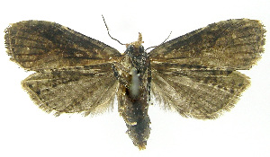 (Phtheochroa turrialbaEPR02 - INB0003301052)  @13 [ ] CreativeCommons - Attribution Non-Commercial Share-Alike (2012) National Biodiversity Institute of Costa Rica National Biodiversity Institute of Costa Rica