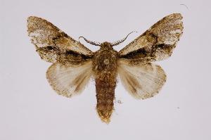 (Macrurocampa - INB0003328276)  @15 [ ] Copyright (2012) I. Chacon Instituto Nacional de Biodiversidad