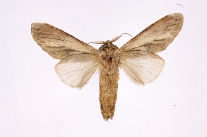 (Skaphita - INB0003352368)  @11 [ ] Copyright (2012) I. Chacon Instituto Nacional de Biodiversidad
