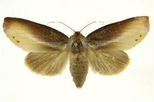 (Notodontidae_unassigned - INB0003496144)  @15 [ ] Copyright (2012) Juan Mata Lorenzen INBio