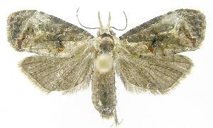 (Phtheochroa turialbaEPR02 - INB0003520949)  @14 [ ] CreativeCommons - Attribution Non-Commercial Share-Alike (2012) National Biodiversity Institute of Costa Rica National Biodiversity Institute of Costa Rica