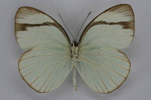 (Itaballia demophile centralis - INB0003854497)  @15 [ ] CreativeCommons - Attribution Non-Commercial Share-Alike (2012) National Biodiversity Institute of Costa Rica National Biodiversity Institute of Costa Rica