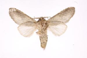 (Heterocampa andradoraDHJ03 - INB0003892558)  @15 [ ] Copyright (2012) I. Chacon Instituto Nacional de Biodiversidad