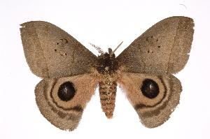 (Automeris celataICHG03 - INB0003935550)  @15 [ ] Copyright (2012) I. Chacon Instituto Nacional de Biodiversidad