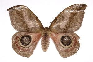(Automeris exigua - INB0004038523)  @15 [ ] Copyright (2012) I. Chacon Instituto Nacional de Biodiversidad