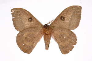 (Automeris beltiICGH01 - INB0004041761)  @14 [ ] Copyright (2012) I. Chacon Instituto Nacional de Biodiversidad