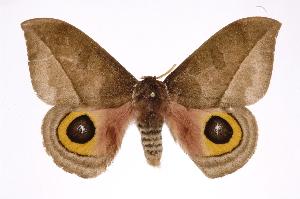 (Automeris zuganaICHG02 - INB0004078405)  @14 [ ] Copyright (2012) I. Chacon Instituto Nacional de Biodiversidad