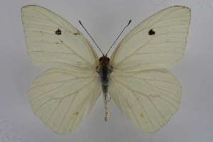 (Ganyra josephina josepha - INB0004103466)  @15 [ ] CreativeCommons - Attribution Non-Commercial Share-Alike (2012) National Biodiversity Institute of Costa Rica National Biodiversity Institute of Costa Rica