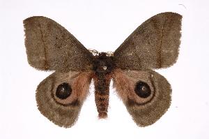 (Automeris celataICG01 - INB0004107241)  @14 [ ] Copyright (2012) I. Chacon Instituto Nacional de Biodiversidad