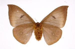 (Automeris phrynonICHG01 - INB0004111108)  @15 [ ] Copyright (2012) I. Chacon Instituto Nacional de Biodiversidad