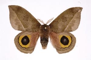 (Automeris zuganaICHG03 - INB0004134911)  @15 [ ] Copyright (2012) I. Chacon Instituto Nacional de Biodiversidad