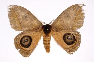 (Automeris banusICHG01 - INB0004134915)  @14 [ ] Copyright (2012) I. Chacon Instituto Nacional de Biodiversidad