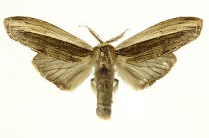 (Dicranurinae - INB0004137967)  @15 [ ] Copyright (2012) Juan Mata Lorenzen INBio