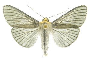 (Cirrhocephalina phillipsEPR01 - INB0004174700)  @14 [ ] CreativeCommons - Attribution Non-Commercial Share-Alike (2012) National Biodiversity Institute of Costa Rica National Biodiversity Institute of Costa Rica