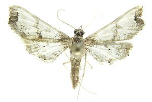 (Neoleucinodes phillipsEPR02 - INB0004210884)  @13 [ ] CreativeCommons - Attribution Non-Commercial Share-Alike (2012) National Biodiversity Institute of Costa Rica National Biodiversity Institute of Costa Rica