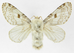 (Tolype caietaJMR01 - INB0004222393)  @15 [ ] Copyright (2012) J. Montero Instituto Nacional de Biodiversidad