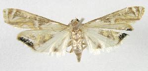(Petrophila auspicatalisEPR01 - INB0004238404)  @13 [ ] CreativeCommons - Attribution Non-Commercial Share-Alike  National Biodiversity Institute of Costa Rica National Biodiversity Institute of Costa Rica