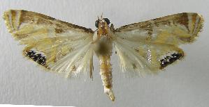 (Petrophila auspicatalisEPR01 - INB0004238411)  @13 [ ] CreativeCommons - Attribution Non-Commercial Share-Alike  National Biodiversity Institute of Costa Rica National Biodiversity Institute of Costa Rica