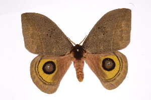 (Automeris beltiICHG02 - INB0004265256)  @15 [ ] Copyright (2012) I. Chacon Instituto Nacional de Biodiversidad