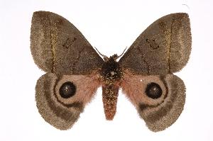 (Automeris celataICHG04 - INB0004265563)  @15 [ ] Copyright (2012) I. Chacon Instituto Nacional de Biodiversidad