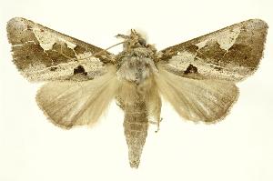 (Phyllopalpia - INBIOCRI000811093)  @14 [ ] Copyright (2012) Juan Mata Lorenzen INBio