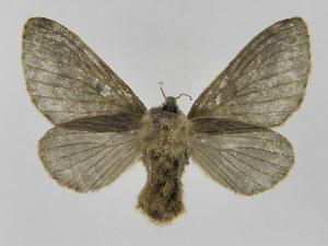 (Tolype primitivaJMR01 - INBIOCRI001675253)  @14 [ ] Copyright (2012) J. Montero Instituto Nacional de Biodiversidad