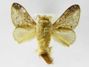 (Tolype perplexaJMR01 - INBIOCRI001848086)  @14 [ ] Copyright (2012) J. Montero Instituto Nacional de Biodiversidad
