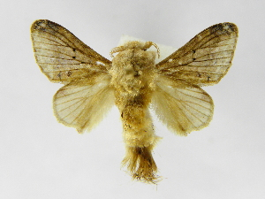 (Tolype nanaJMR02 - INBIOCRI001870324)  @14 [ ] Copyright (2012) J. Montero Instituto Nacional de Biodiversidad