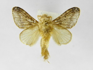 (Tolype nanaDHJ01 - INBIOCRI002033944)  @14 [ ] Copyright (2012) J. Montero Instituto Nacional de Biodiversidad