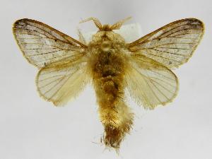 (Tolype perplexaJMR02 - INBIOCRI002410924)  @14 [ ] Copyright (2012) J. Montero Instituto Nacional de Biodiversidad
