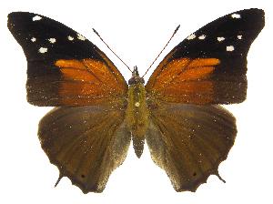 (Historis acheronta acheronta - INB0004270486)  @15 [ ] Copyright (2011) J. Montero Instituto Nacional de Biodiversidad
