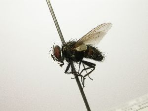(Tachinidae - INB0003338877)  @16 [ ] Unspecified (default): All Rights Reserved  Unspecified Unspecified