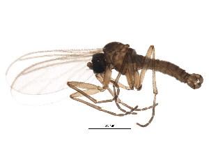 (Corynoptera praeforcipata - BIOUG01426-B03)  @13 [ ] CC-0 (2012) CBG Photography Group Centre for Biodiversity Genomics