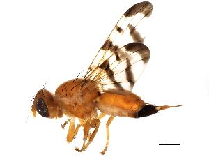 (Rhagoletis meigenii - BIOUG01544-B11)  @13 [ ] CC-0 (2012) CBG Photography Group Centre for Biodiversity Genomics