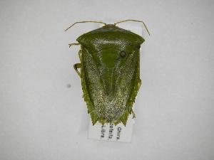 (Pantachoa - INB0003968072)  @15 [ ] Copyright (2012) Jim Lewis Instituto Nacional de Biodiversidad