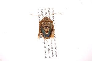 (Pallantia - INB0003969606)  @13 [ ] Copyright (2012) Jim Lewis Instituto Nacional de Biodiversidad
