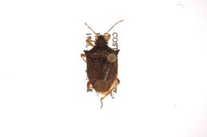 (Berecynthus - INB0004045212)  @13 [ ] Copyright (2012) Jim Lewis Instituto Nacional de Biodiversidad