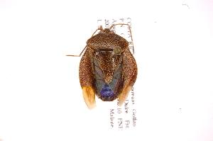 (Neotibilis - INB0004104571)  @14 [ ] Copyright (2012) Jim Lewis Instituto Nacional de Biodiversidad
