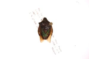 (Mormidea - INB0004139065)  @14 [ ] Copyright (2012) Jim Lewis Instituto Nacional de Biodiversidad