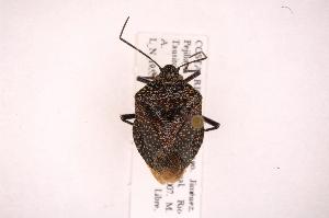 (Pellaea - INB0004154325)  @15 [ ] Copyright (2012) Jim Lewis Instituto Nacional de Biodiversidad