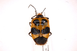 (Arocera - INB0004186184)  @15 [ ] Copyright (2012) Jim Lewis Instituto Nacional de Biodiversidad