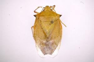 (Chlorocoris - INB0004297725)  @14 [ ] Copyright (2012) Jim Lewis Instituto Nacional de Biodiversidad