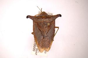 (Taurocerus - INBIOCRI000395029)  @14 [ ] Copyright (2012) Jim Lewis Instituto Nacional de Biodiversidad