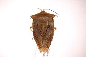 (Tessaratomidae - INBIOCRI001761712)  @15 [ ] Copyright (2012) J. Lewis Instituto Nacional de Biodiversidad