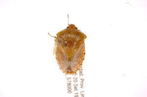 (Glaucioides - INBIOCRI001839488)  @14 [ ] Copyright (2012) Jim Lewis Instituto Nacional de Biodiversidad