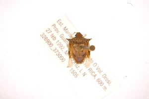 (Odmalea - INBIOCRI001925275)  @13 [ ] Copyright (2012) Jim Lewis Instituto Nacional de Biodiversidad