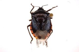 (Vulsirea - INBIOCRI002415014)  @14 [ ] Copyright (2012) Jim Lewis Instituto Nacional de Biodiversidad