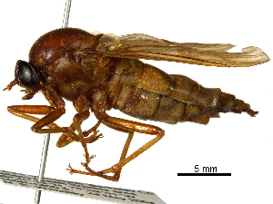 (Coenomyia - CCDB-31122-C08)  @11 [ ] CreativeCommons - Attribution Non-Commercial Share-Alike (2017) CBG Photography Group Centre for Biodiversity Genomics