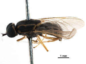 (Rhaphiocerina - CCDB-31123-D10)  @11 [ ] CreativeCommons - Attribution Non-Commercial Share-Alike (2017) CBG Photography Group Centre for Biodiversity Genomics
